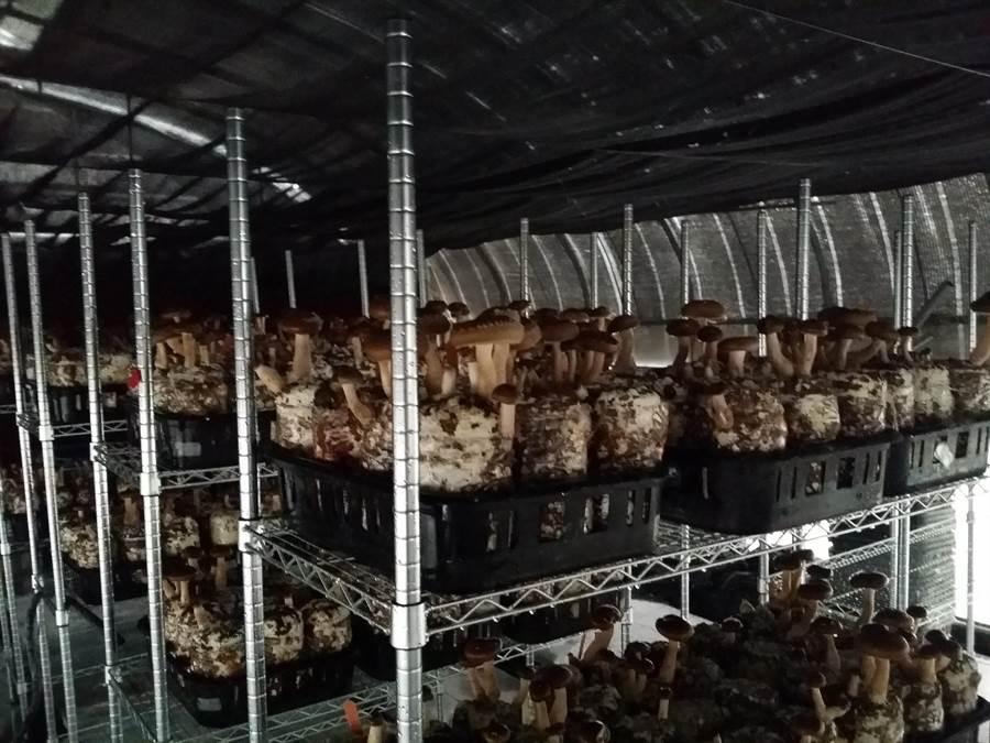 農業試驗所成功研發「水簾溫室」技術,可提高菇類生產量及品質。(林欣儀翻攝)