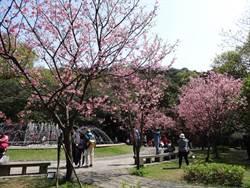 除了海芋季  陽明山櫻花現正盛開