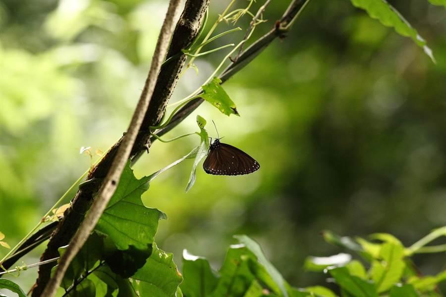茂林蝴蝶季近尾聲。(茂管處提供)