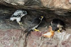 遊隼繁殖首次全記錄 幼鷹生長懸崖邊「練膽量」