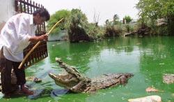 肯亞搶賺鱷魚財