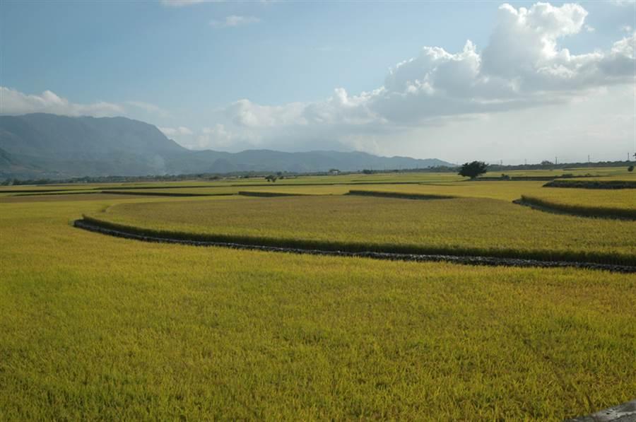 3年前退出全國稻米競賽的池上米,今年宣布「重返戰場」。池上鄉公所表示,力挺農委會政策。(檔案照片)中央社記者盧太城台東攝 106年4月3日