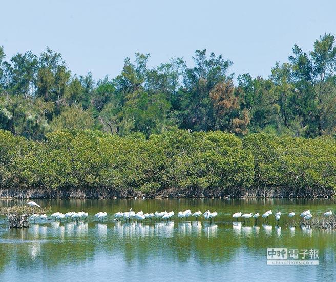 放假中…  清明連假第3天,東石鰲鼓溼地內仍有上百隻的黑面琵鷺棲息。(余信賢攝)