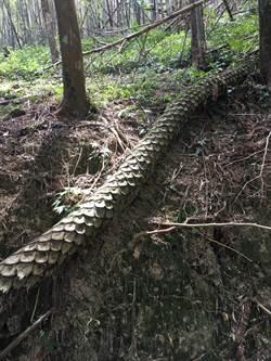 驚人巨蟒?蛇木形如其名!