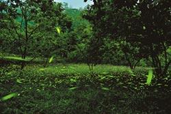 乾旱少雨 螢火蟲數量少6成