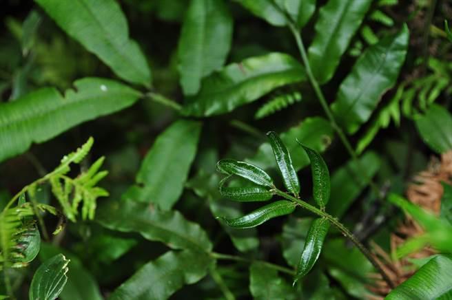 日月潭新發現的台灣原始觀音座蓮,目前正在長出新嫩芽。(沈揮勝攝)