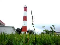 高美燈塔瀕危野生「綬草」保育有成 與燈塔相輝映