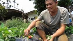 康國義馴化草莓可平地育苗 到8月也都吃得到