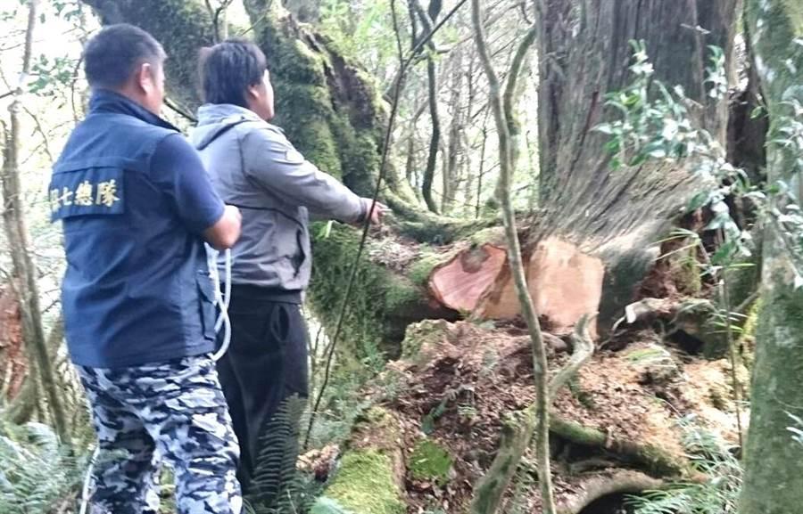 警方與南投林管處在仁愛山區發現台灣扁柏珍貴林木被山老鼠盜鋸。(警方提供)