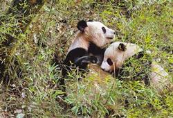 首見秦嶺熊貓哺乳 粉絲心融化