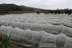 金山甘藷越冬苗 產量有望成長