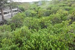 新豐紅樹林水筆仔生長快速 反成生物殺手