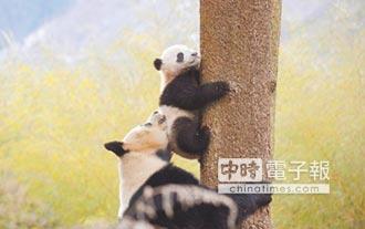 大熊貓國家公園跨三省 74%在四川