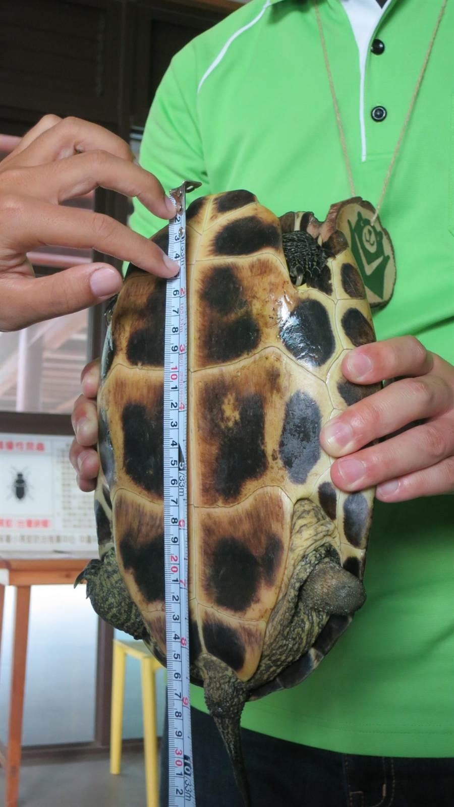 昨日一位陳姓民眾在中埔鄉五虎寮橋撿到一隻烏龜,後送至觸口工作站,經專業人員鑑定後確認為斑龜,全長為26.5公分。(余信賢攝)