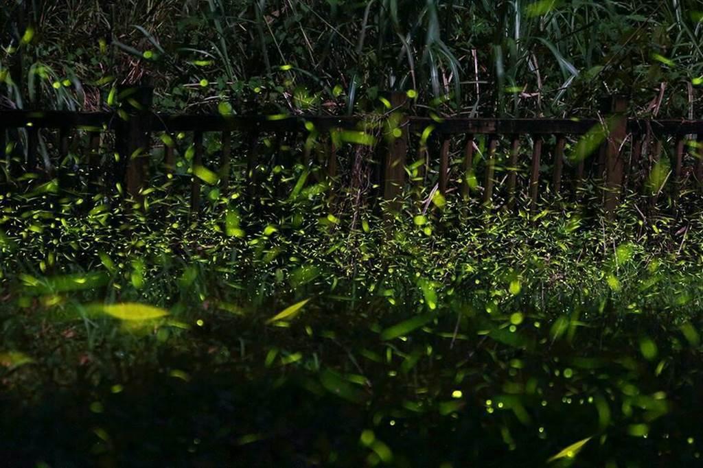 東勢區四角林場入夜後,點點螢光在杉木、楓香、肖楠、相思樹及桂竹林間閃爍,宛如地面上的銀河星海,令人讚嘆。(台中市農會提供)