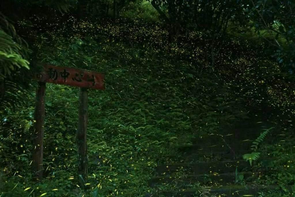 初夏季節螢火蟲羽化,四角林場入夜後,滿山遍野點亮萬盞綠光。(台中市農會提供)