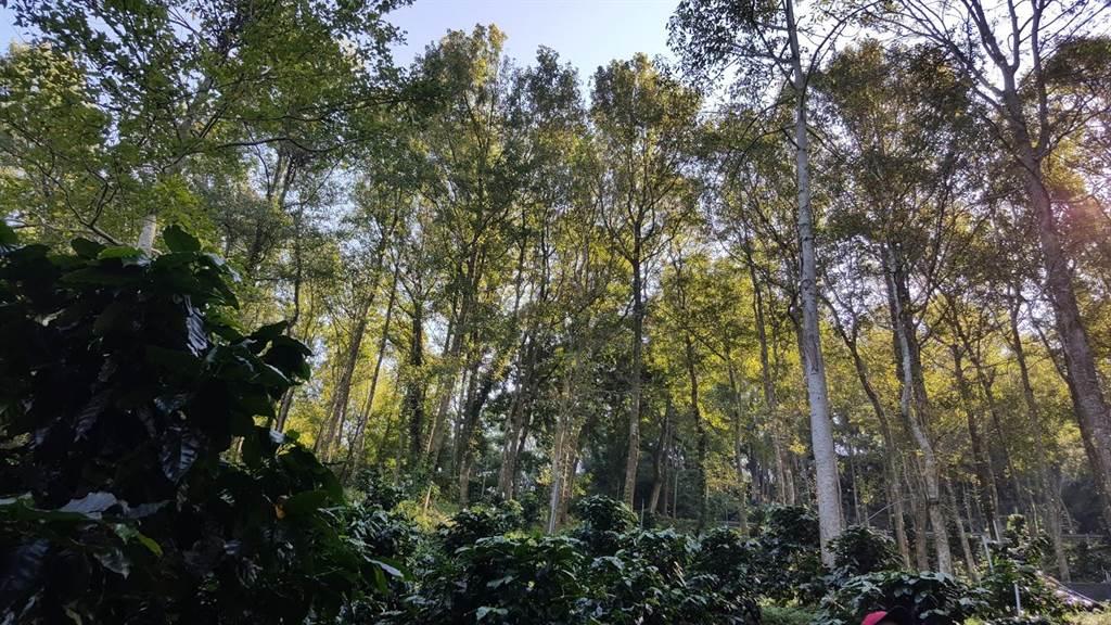位於東勢區東北郊的四角林場,轉型咖啡莊園,於林間間距種植咖啡樹,與螢火蟲共生共存,「螢火蟲咖啡」名號不脛而走。(台中市農會提供)