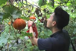 花蓮》青農網室南瓜孕育有成 2分地產近2千斤