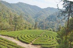 違法茶園復活?林管處:造林取代
