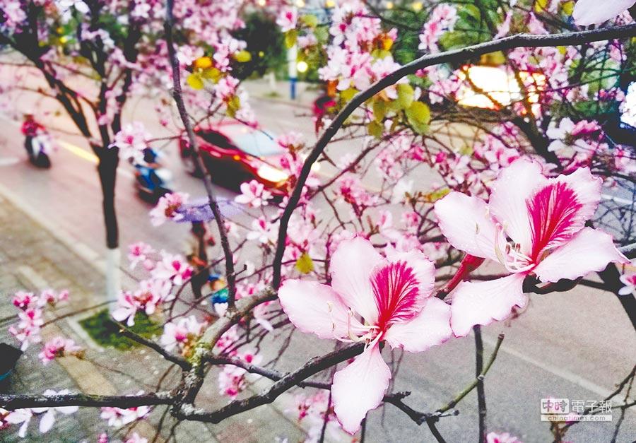 粉紅紫荊花妝點龍城的街道。(顏篁攝)