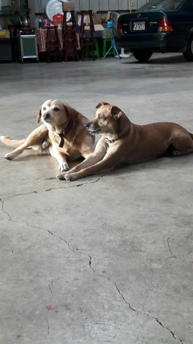 鐵工廠葉家兩隻黃狗上月中、下旬也毒發身亡。(王文吉翻攝)