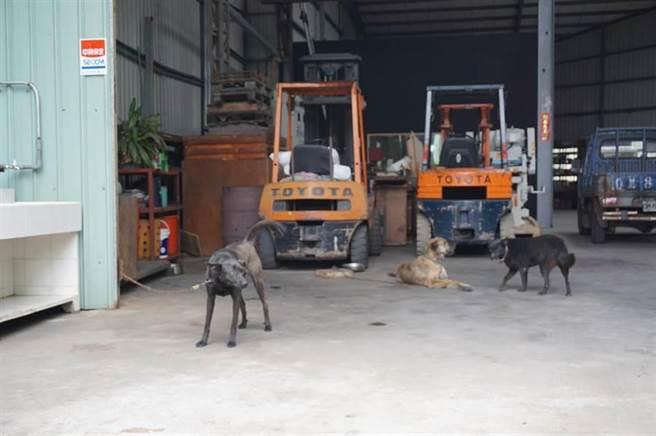 附近鐵工廠收養4隻流浪狗做為護廠犬,鄧姓飼主已不敢讓愛犬外出放風。(王文吉攝)