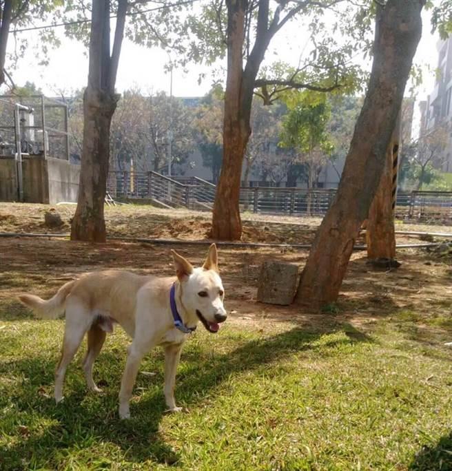 吳家對米克斯犬「Happy」疼愛有加,平時會帶到戶外草地練跑。(王文吉翻攝)