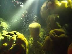 迎接春天 東沙珊瑚產卵了!
