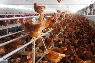 成本高五倍 人道飼養雞和蛋都更健康