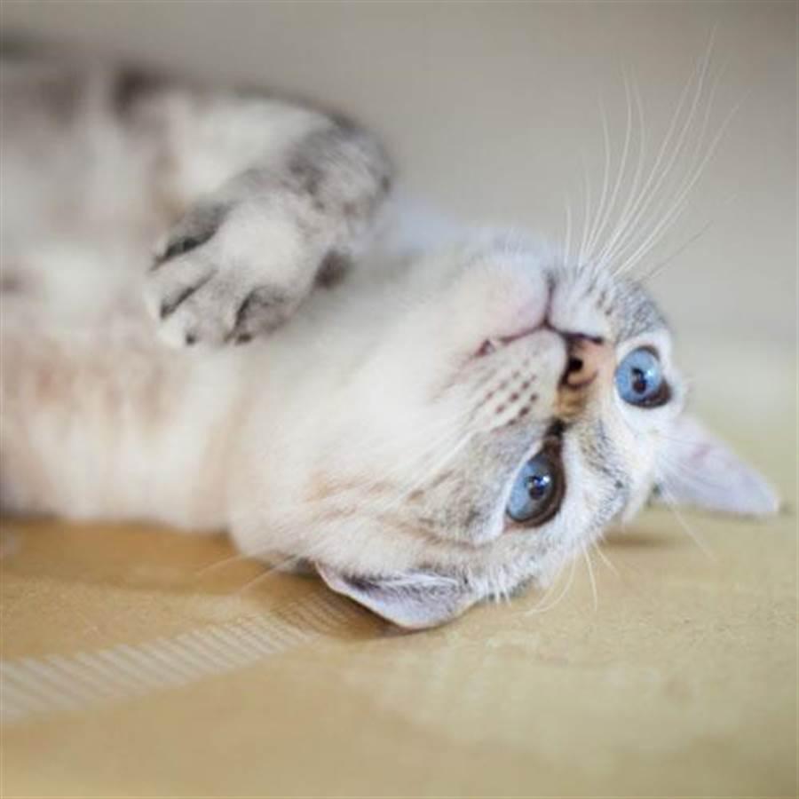 別府溫泉新玉旅館愛撒嬌的「牛奶」獲得招牌貓第一名。(樂天旅遊提供)