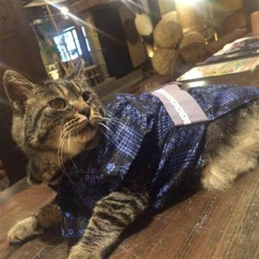 湯西川溫泉平家之庄「虎鬚」肥嘟嘟的模樣很討喜。(樂天旅遊提供)