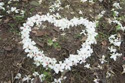 古坑鄉兩千棵油桐花怒放 社區歡迎民眾帶毛小孩賞花