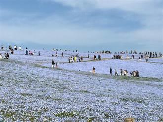 日本茨城縣最浪漫美景 淡藍色粉蝶花海與海天相連