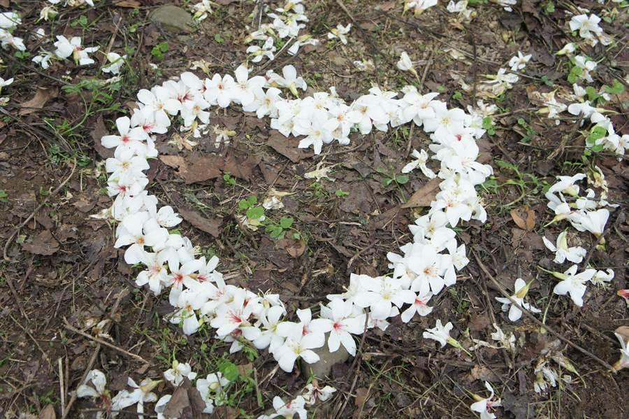 荷苞山得由桐花怒放,凋謝的花朵被排成心型,好浪漫。(周麗蘭攝)