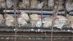 鴻彰4.2萬隻雞撲殺 彰檢追汙染源