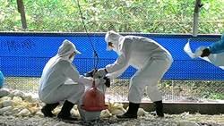 屏東蛋中雞確診H5N2 縣府撲殺1萬9000隻雞