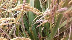 花蓮》稻米幼穗形成期 嚴防稻熱病
