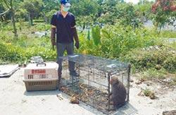 獼猴偷吃筍 古坑農開炮