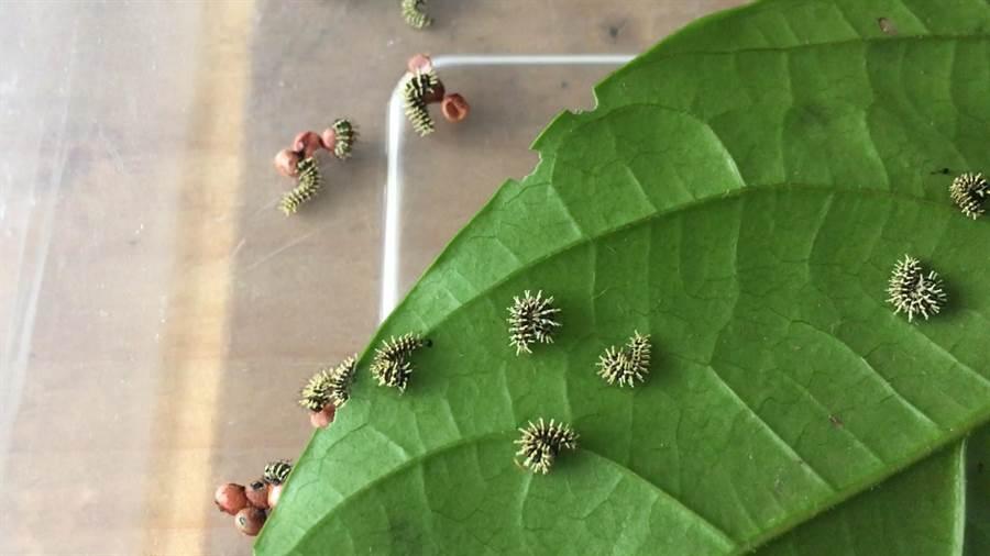 剛孵化的皇蛾幼蟲;該蟲達到終齡時,體型將會比成年男性的大拇指還粗。(沈揮勝攝)