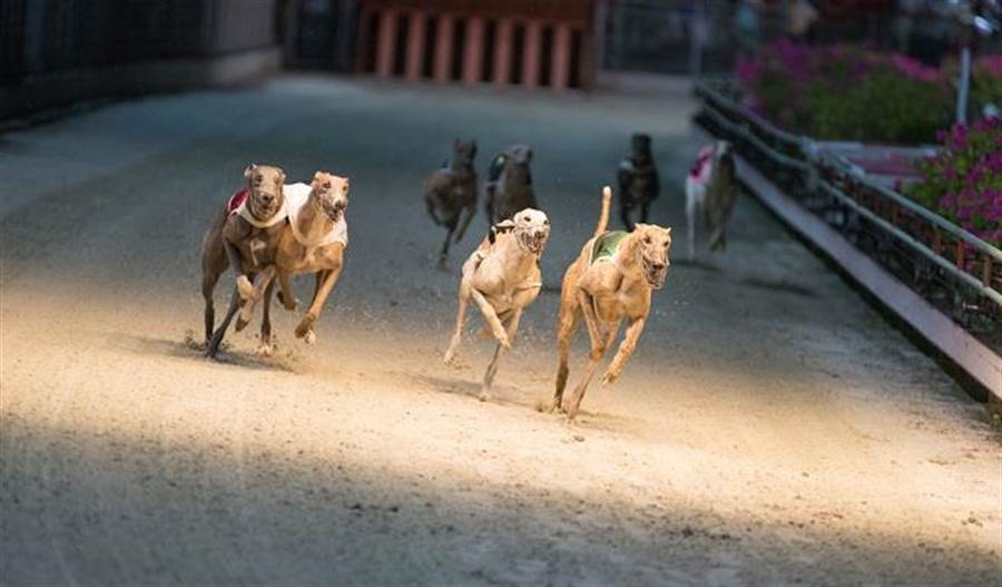 看賽狗是與看賽馬截然不同的體驗。