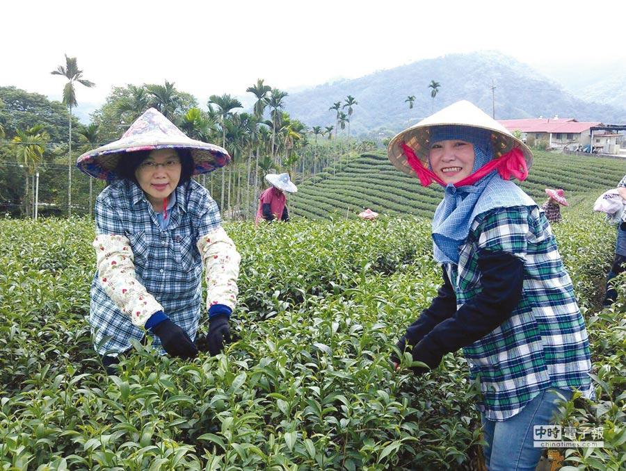 總統蔡英文關注農業生技,競選時造訪茶園,實地體驗茶農生活。圖/葉東保提供