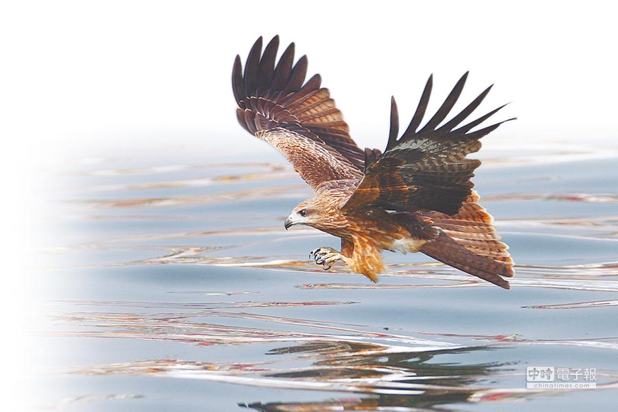 「老鷹故鄉」(見圖,基隆市野鳥學會提供)