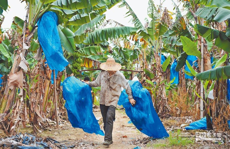 廣東龍業農業合作社的香蕉林裡,蕉農將香蕉從樹上砍下,裝上收購香蕉的貨車。(文波攝)