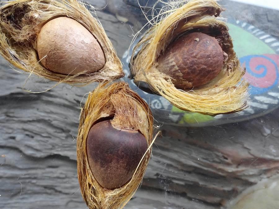 中埔鄉石弄村林書筠自創檳榔染,首先要將檳榔敲開取出果仁乾燥。(林書筠提供)