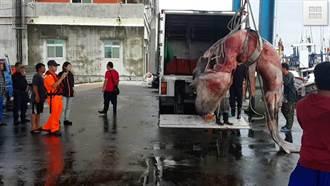全球剩百尾巨口鯊 台今捕獲一隻...吃掉了