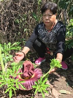 台灣第一大花「疣柄魔芋」 尺寸如臉盆