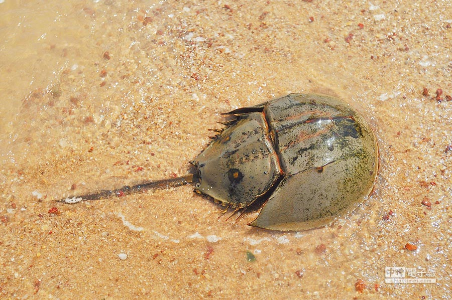 「鱟」有「灘地上的活化石」之稱。(李金生攝)