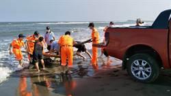 海洋悲歌 台南北門沿海發現偽虎鯨擱淺死亡