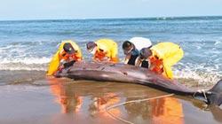 台南海灘 驚見偽虎鯨擱淺亡