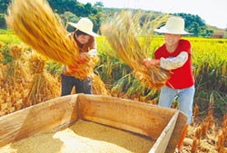 多養活4億人口 雜交稻高產能成果